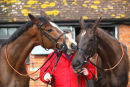 Kauto Star & Denman ( 1st & 2nd favourite for the Cheltenham gold Cup ) share a joke.