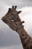 Friendly Giraffes