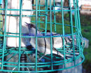 2 Male Blackcaps