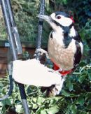 Male Great Spotted Woodpecker