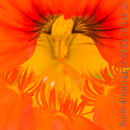 Mouth of the Nasturtium