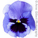 Pansy Face