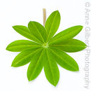 Lupin Leaf