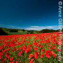Poppy Field