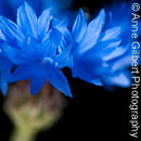 Sunkissed Cornflower