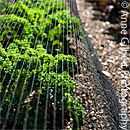 Netted Kale