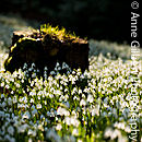 Snowdrop Tree Stump