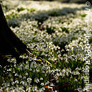 Rococo Snowdrops