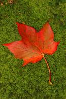 0106 Autumn Sycamore Leaf (Acerpseudoplatanus) on Moss
