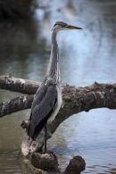 01D-1959 Grey Heron Ardea cinerea