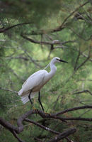 01D-2030 Little Egret Egretta garzetta Perched in Tree Camargue France