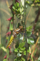 01D-4893 Immature Broad-Bodied Chaser Dragonfly Libellula depressa