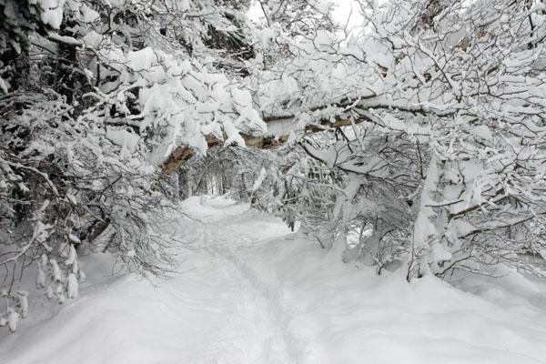 01D-8832 Winter Woodland Glenmore Forest Rothiemurchus Cairngorms Scotland