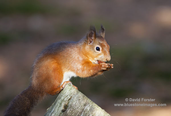 01M-5217 Temp Red Squirrel Sciurus vulgaris Copyright David Forster.