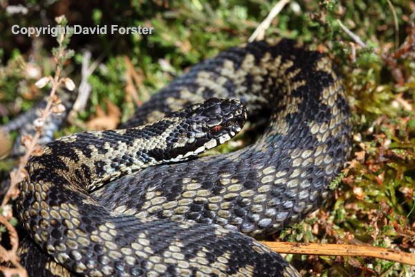 02D-0348 Male Adder Vipera berus Teesdale County Durham