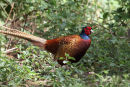 02D-3579 Male Pheasant Phasianus colchicus in Sunlit Woodland UK