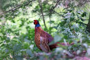 02D-3630 Male Pheasant Phasianus colchicus in Sunlit Woodland UK.