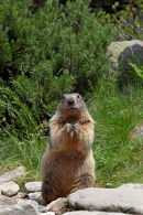 02D-6342 Alpine Marmot Marmota marmota in Upright Posture Pyrenees France.