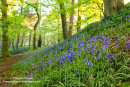 02M-1835 Bluebells Hyacinthoides non-scripta Upper Teesdale County Durham UK