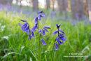 02M-1907 Bluebells Hyacinthoides non-scripta