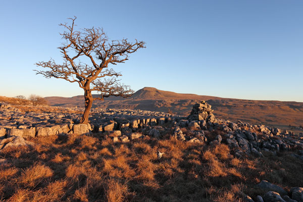 03D-0642 Hawthorn Tree and the Mountain of Ingleborough in Evening Light From Twistleton Scars Yorkshire Dales UK