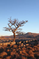 03D-0645 Hawthorn Tree and the Mountain of Ingleborough in Evening Light From Twistleton Scars Yorkshire Dales UK