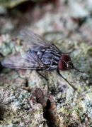 03D-3015 Flesh-Fly Sarcophaga carnaria.