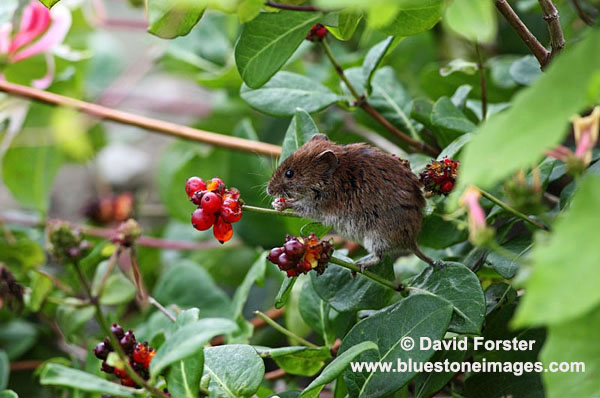 03D-6440 Bank Vole Clethrionomys glareolus Feeding on Honeysuckle Berries