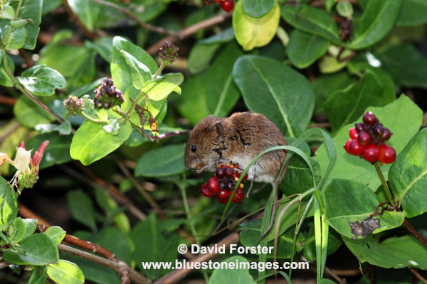 03D-6505 Bank Vole Clethrionomys glareolus Feeding on Honeysuckle Berries UK