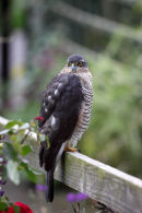 03D-7301 Sparrowhawk Accipter nisus on Garden Fence