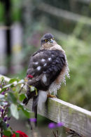 03D-7335 Sparrowhawk Accipter nisus on Garden Fence.