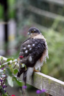 03D-7338 Sparrowhawk Accipter nisus on Garden Fence