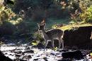 03D-8097 Female Fallow Deer Dama Dama Crossing a Stream in Autumn Woodland