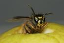 0427 Dying Common Wasp (Vespula vulgaris) on Apple