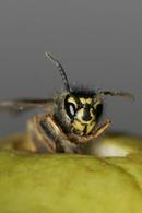 0437 Dead/Dying Common Wasp (Vespula vulgaris) on Apple.