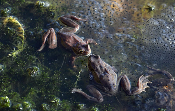 04D-3940 Common Frogs Rana temporaria Surrounded by Frogspawn UK