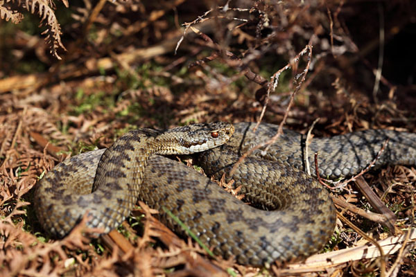 04D-4594 Adder Vipera Berus Teesdale County Durham UK.