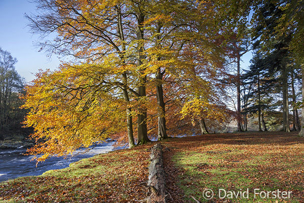 05D-7751 Autumn Beech Trees on the Banks of the River Tees Near Low Force and Wynch Bridge Bowlees Upper Teesdale County Durham UK