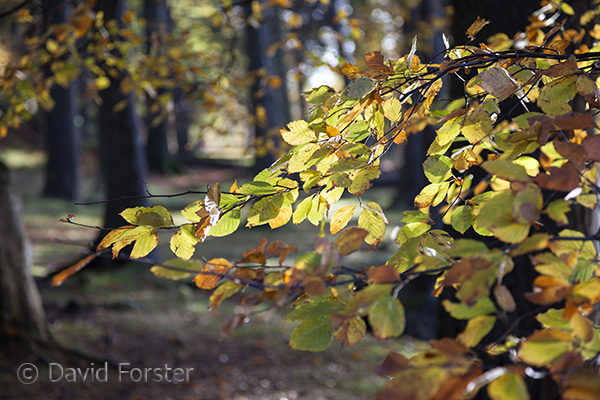 05D-7838 Beech Fagus sylvatica Leaves Catching the Morning Sun in Autumn Near Bowlees in Upper Teesdale County Durham