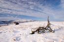 06-1434 Skeletal Juniper Tree (Juniperus communis) in Winter.  Bracken Rigg, Upper Teesdale, County Durham.