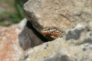 06-3386 Common Wall Lizard (Podarcis muralis), Cevennes National Park, France.