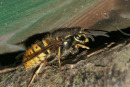 06-3512 Common Wasp (Vespula vulgaris) Queen Emerging from Hibernation