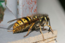 06-3515 Common Wasp (Vespula vulgaris) Queen.