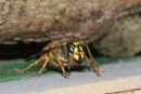 06-3540 Common Wasp (Vespula vulgaris) Queen Emerging from Hibernation