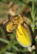 06-3743 Yellow Dung Fly (Scathophaga stercoraria) on Gorse