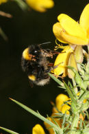 06-3837 Queen Bumble Bee feeding and ultimately pollenating the Gorse flowers. Note the Mites Attached to her Body