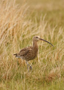 06-4911 Curlew ((Numenius arquata)