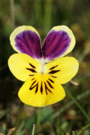 06-5122 Mountain Pansy (Viola Lutea)Widdy Bank Fell Nature Reserve, Upper Teesdale, County Durham