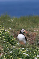 06-5185 Puffin (Fratercula arctica) Surrounded by Sea Campion, Farne Islands, North East Coast of England