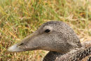 06-5273 Female Eider Duck (Somateria mollissima)Farne Islands, North East Coast of England